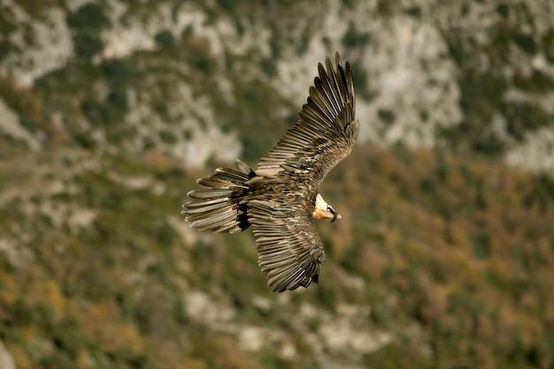 Взрослая летающая ламмергейер, падальщики, стервятники, птицы, gypaetus barbatus