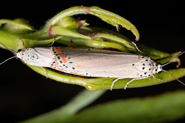 Hibiscus sabdariffa 종의 roselle 잎에 교미하는 utetheisa ornatrix 종의 성인 장식 벨라 나방