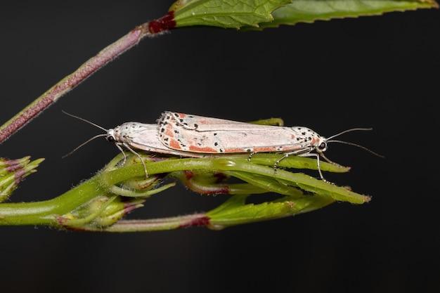 Adult ornamented bella moth of the species utetheisa ornatrix copulating on the roselle leaf of the species hibiscus sabdariffa