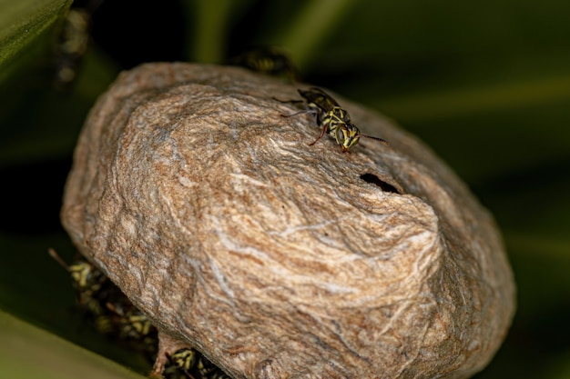 Adult paper wasp of the genus protopolybia