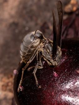 Polybiaignobilis種の成虫アシナガバチ