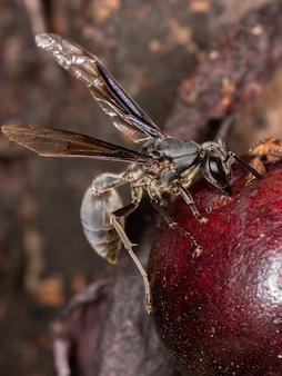 Adult paper wasp of the species polybia ignobilis