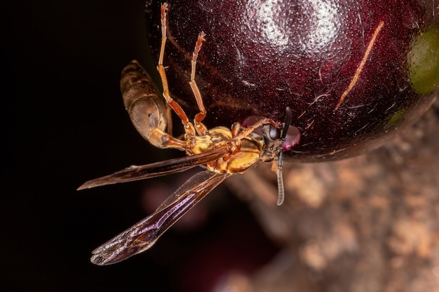 Adult paper wasps of the species polybia sericea