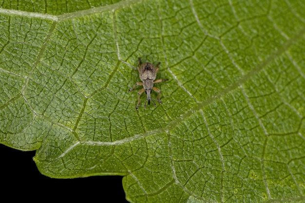Apioninae 아과의 성체 배모양 바구미