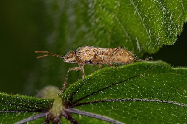Infraorder pentatomomorpha의 성인 pentatomomorph 버그