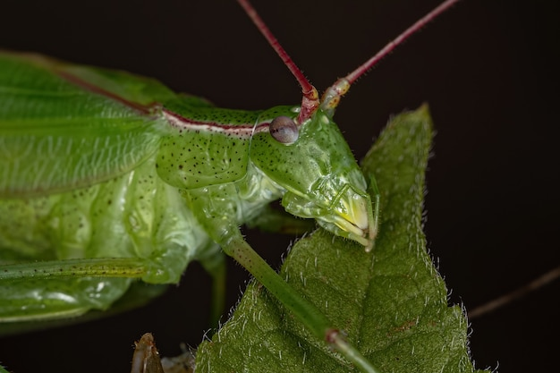 새로 성숙된 aniarellini 부족의 성인 paneropterine katydid