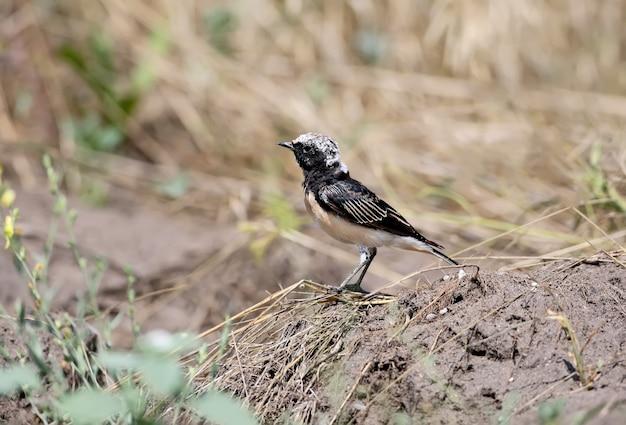 大人のセグロサバクヒタキは、自然の生息地の地面(oenanthe pleschanka)に座っています