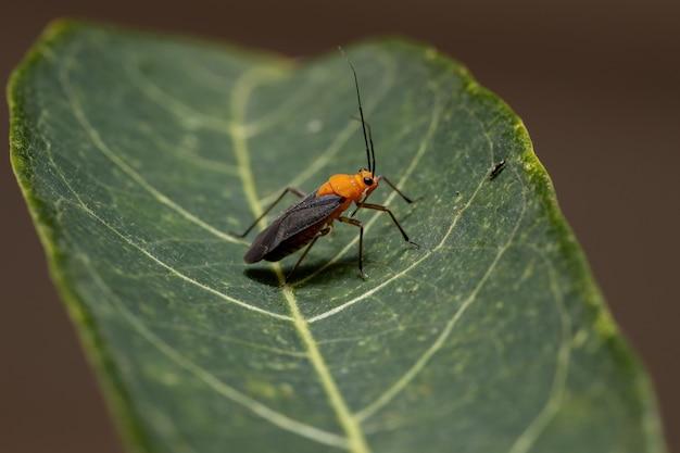 Взрослые насекомые из племени рестенини
