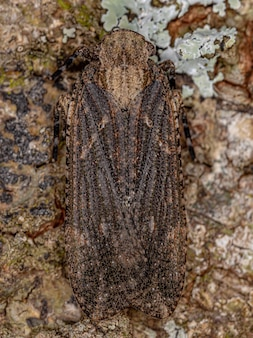 Adult planthopper insect of the family fulgoridae
