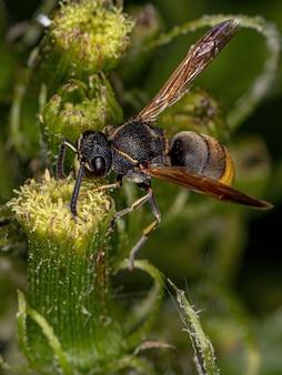 Adult potter wasp of the subfamily eumeninae