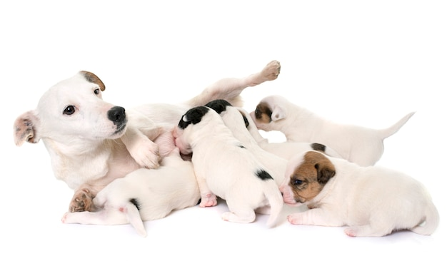 Adult and puppies jack russel terrier