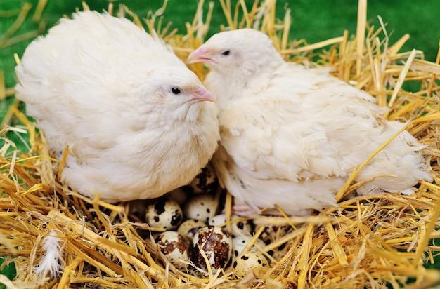 ウズラの卵のクローズアップと巣に座っている大人のウズラ