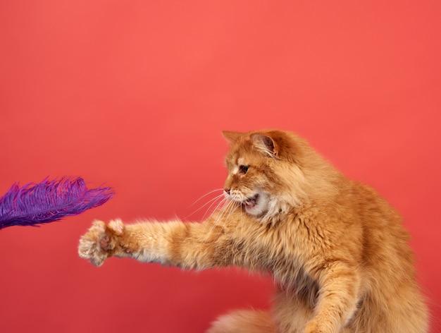 大人の赤い猫が赤い背景に紫の羽で遊ぶ