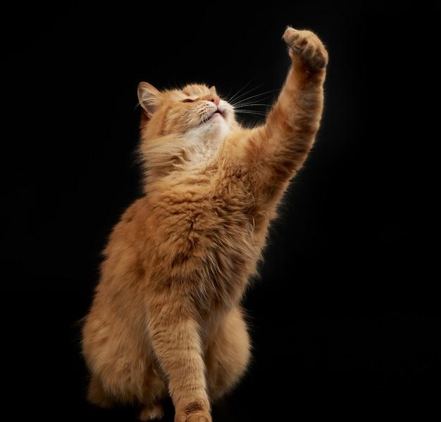 大人の赤い猫は前足を上げ、動物は黒い背景で遊ぶ