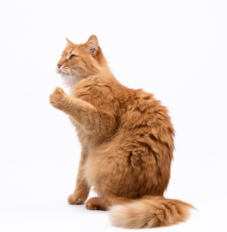 Adult red cat sits sideways and raised its front paws up, white surface
