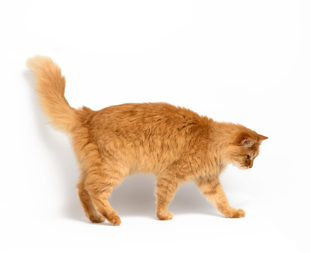 Adult red cat stands on a white surface, animal sideways