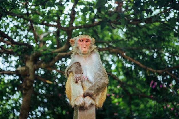 Взрослая макака резуса обезьяны красного лица в тропическом природном парке хайнаня, китая. нахальная обезьяна в естественной лесной зоне. сцена дикой природы с животным опасности. макака мулатка copyspace