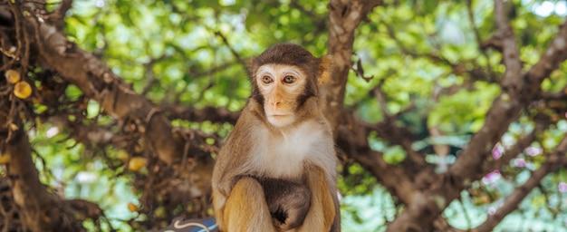 Взрослая макака резуса обезьяны красного лица в тропическом природном парке хайнаня, китая. нахальная обезьяна в естественной лесной зоне. сцена дикой природы с животным опасности. macaca mulatta панорамный баннер copyspace