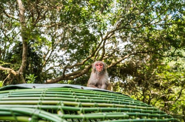 Взрослая макака резуса обезьяны красного лица в тропическом природном парке хайнаня, китая. нахальная обезьяна в естественной лесной зоне. сцена дикой природы с животным опасности. макака мулатка.