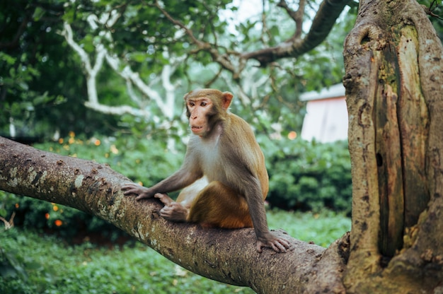 Adult red face monkey rhesus macaque in tropical nature park of hainan, china. cheeky monkey in the natural forest area. wildlife scene with danger animal. macaca mulatta copyspace