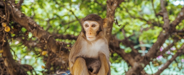 Adult red face monkey rhesus macaque in tropical nature park of hainan, china. cheeky monkey in the natural forest area. wildlife scene with danger animal. macaca mulatta panoramic banner copyspace