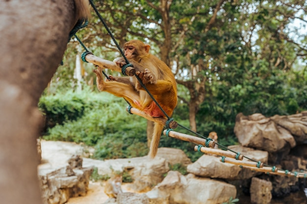 Adult red face monkey rhesus macaque in tropical nature park of hainan, china. cheeky monkey in the natural forest area. wildlife scene with danger animal. macaca mulatta.