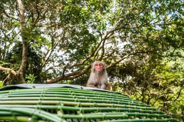 Adult red face monkey rhesus macaque in tropical nature park of hainan, china. cheeky monkey in the natural forest area. wildlife scene with danger animal. macaca mulatta