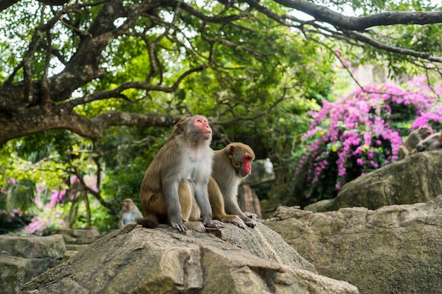 Adult red face monkeys rhesus macaque in tropical nature park of hainan, china. cheeky monkey in the natural forest area. wildlife scene with danger animal. macaca mulatta.