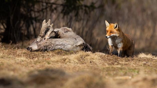 Взрослая рыжая лисица подходит к туше на лугу.