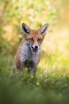 Взрослая рыжая лиса стоит в тени и облизывает открытый рот белыми зубами