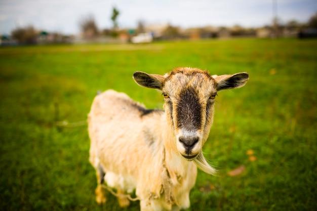 성인 나가서는 염소 초원에서 방목 하 고 사진을 위해 포즈.