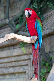 Adult red macaw parrot on a branch