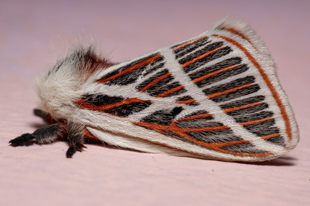 Adult red moth of the species eubergia caisa
