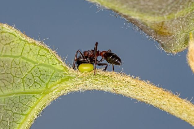 Adult red twig ant of the genus pseudomyrmex eating on the extrafloral nectary of a plant