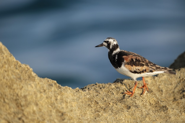 Adulti ruddy turnstone arenaria interpres