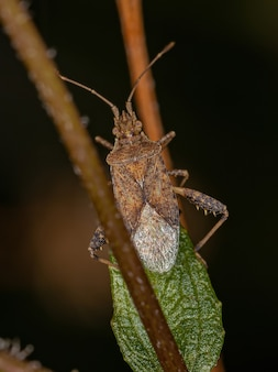 Adult scentless plant bug of the genus harmostes