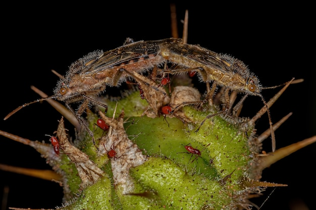 Adult scentless plant bugs of the subfamily rhopalinae coupling