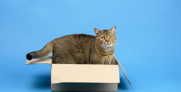 Взрослая шотландская прямая кошка шиншилла сидит в коричневой картонной коробке на синем фоне, животное смотрит в камеру