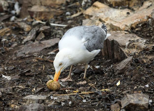 Adult seagull eats a broken gannet`s egg on the beach near north berwick, scotland