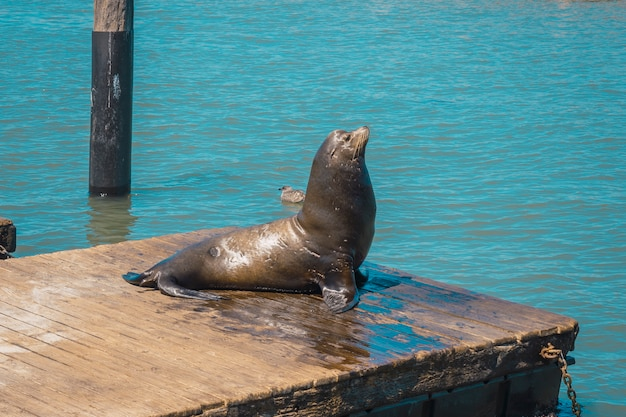 An adult seal drying on pier 39, san francisco. u.s