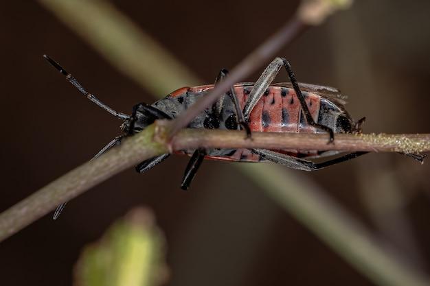 Lygaeusalboornatus種の成虫マツヘリカメムシ