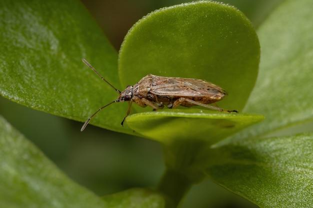 Взрослый клоп подсемейства orsillinae на портулака обыкновенном вида portulaca oleracea