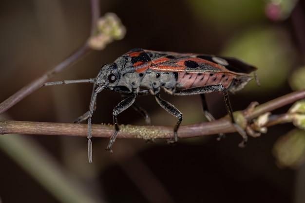 Adult seed bug of the species lygaeus alboornatus
