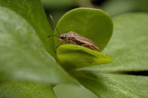 Adult seed bug of the subfamily orsillinae on a common purslane plant of the species portulaca oleracea
