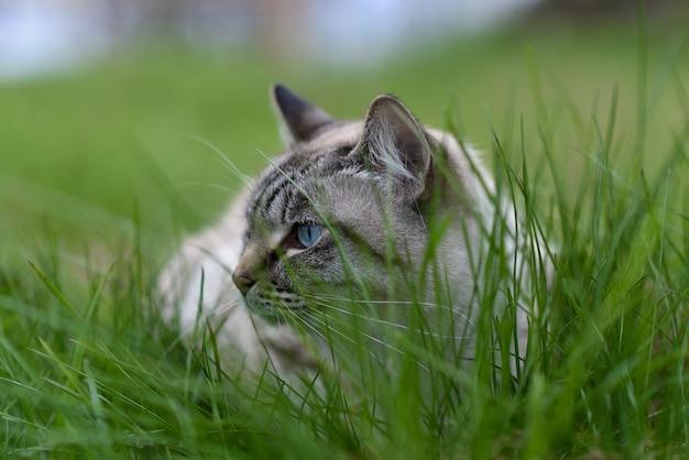Взрослый сиамский кот гуляет по траве.