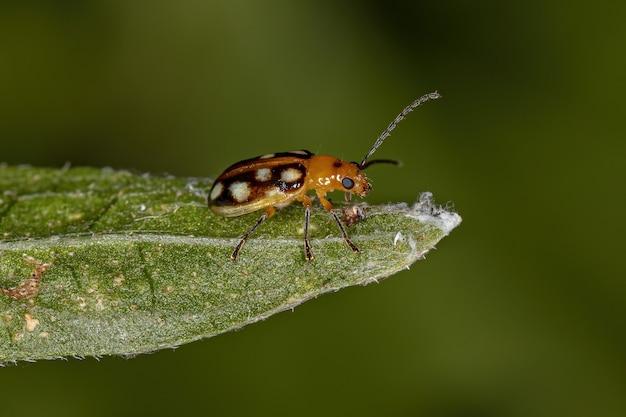 Adult small flea beetle of the subfamily galerucinae