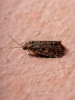 Adult small moth of the order lepidoptera