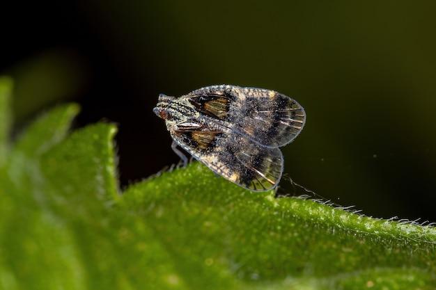 Adult small planthopper of the genus bothriocera