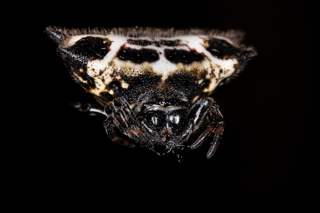 Adult spinybacked orbweaver of the species gasteracantha cancriformis