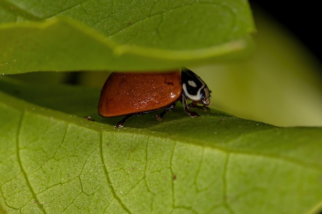 Adult spotless lady beetle of the species cycloneda sanguinea
